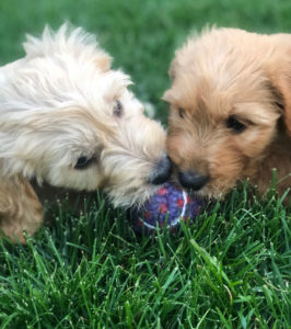 dogs with ball on grass